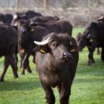 Waterbuffels in Nederland